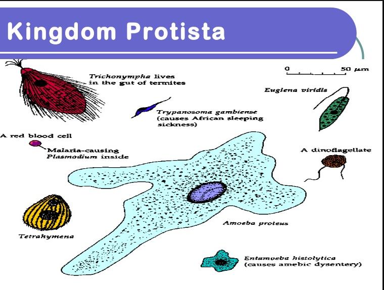 Kingdom Protista: Definition, Characteristics & Examples